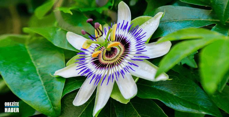 Passiflora Kilo Yapar mı?
