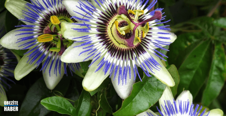 Passiflora Nedir?