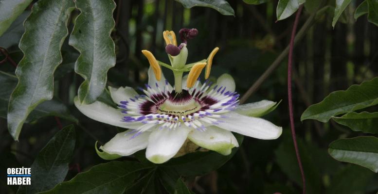Passiflora Kullanırken Dikkat Edilmesi Gerekenler