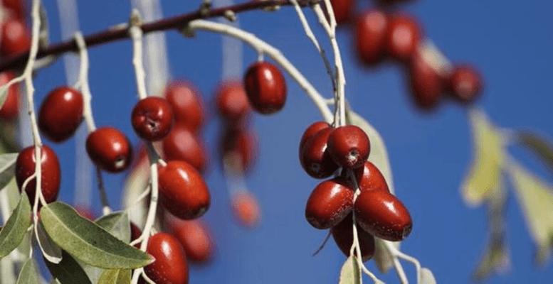 İğde Nasıl Bir Meyvedir?